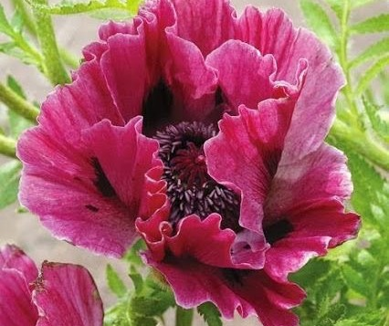 "A photo of a poppy called ""Pink Poppy"" by Canadian artist Theresa Eisenbarth"